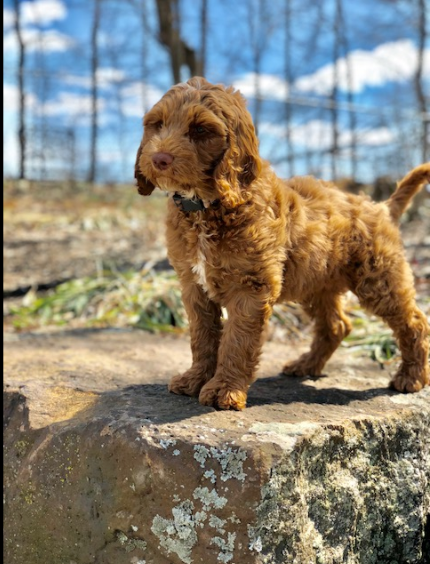 Jackson the service dog, brown, standing on a rock